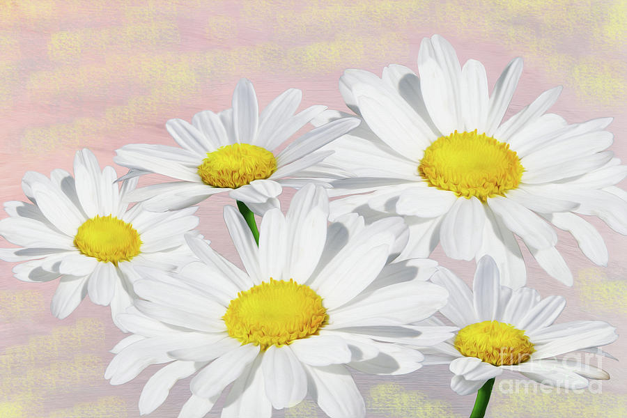 Daisy Photograph - Dreaming Of Daisies by Laura D Young