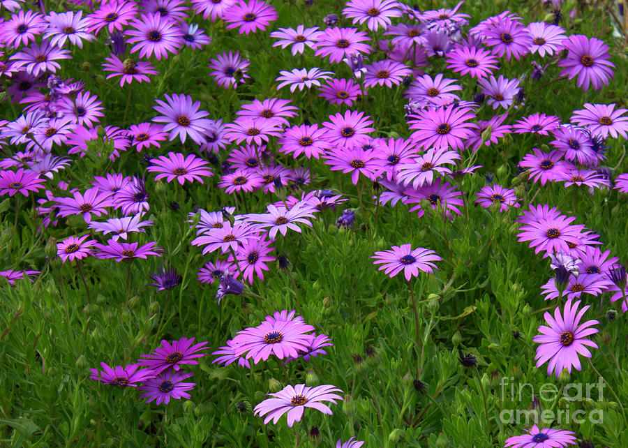 Floral Photograph - Dreaming Of Purple Daisies  by Carol Groenen