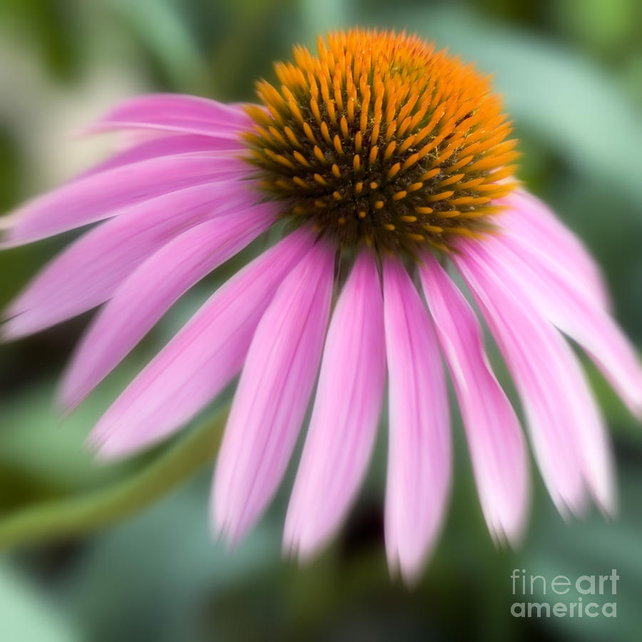 Purple Photograph - Dreamy Coneflower by Jeannie Burleson