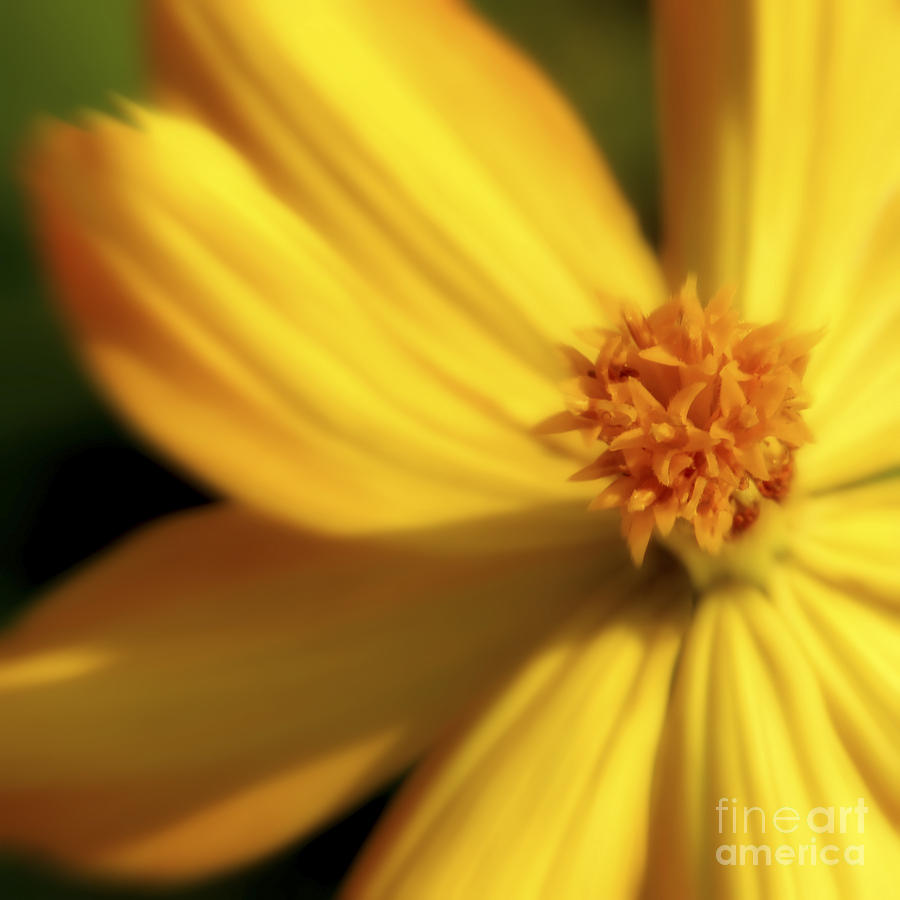 Yellow Photograph - Dreamy Coreopsis by Jeannie Burleson