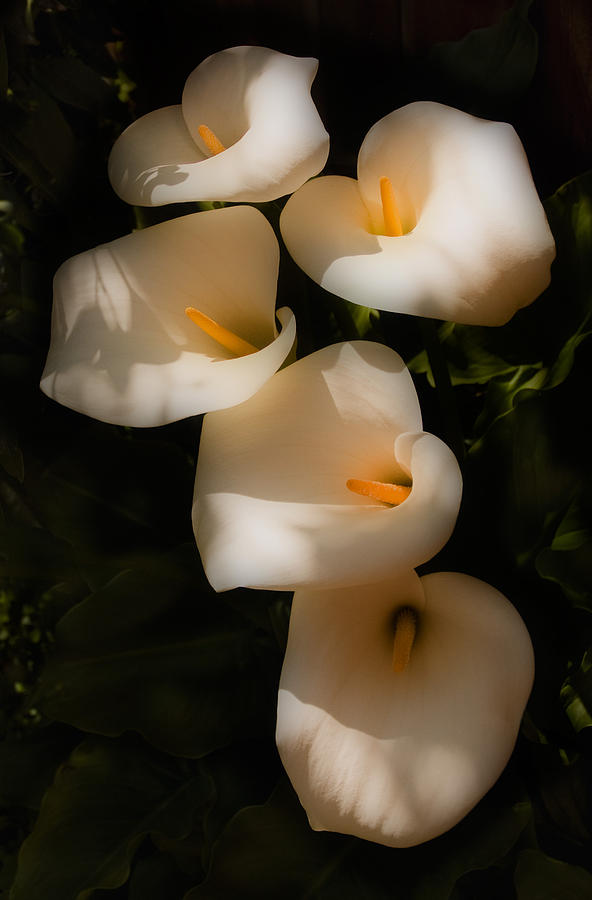 Calla Lily Photograph - Dreamy Lilies by Mick Burkey