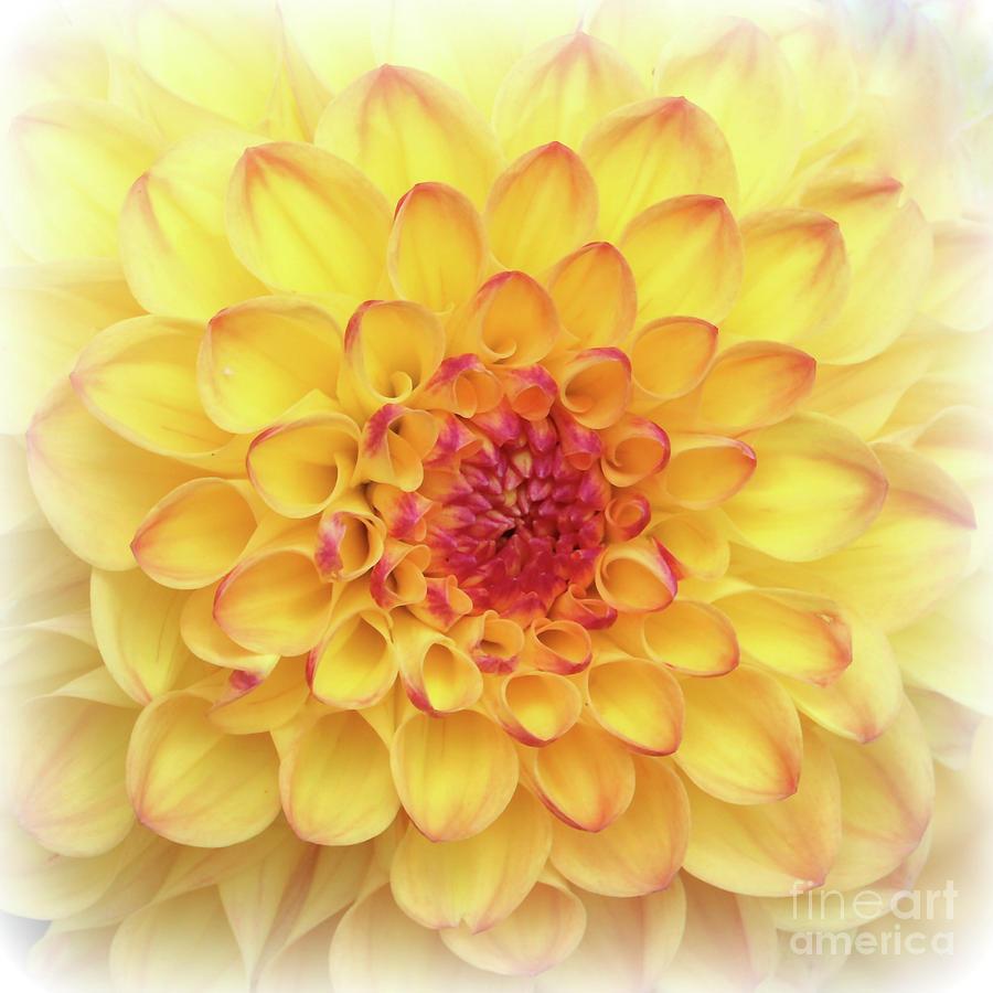 Dreamy Yellow Dahlia Photograph by Carol Groenen