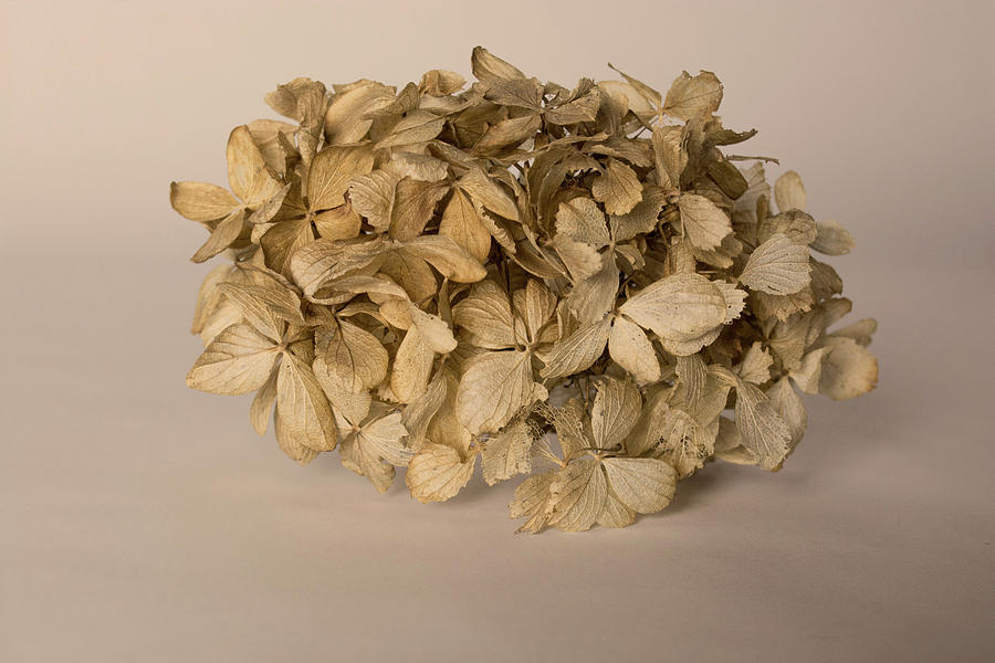 Flowers Photograph - Dried Hydrangea by Susan Newcomb