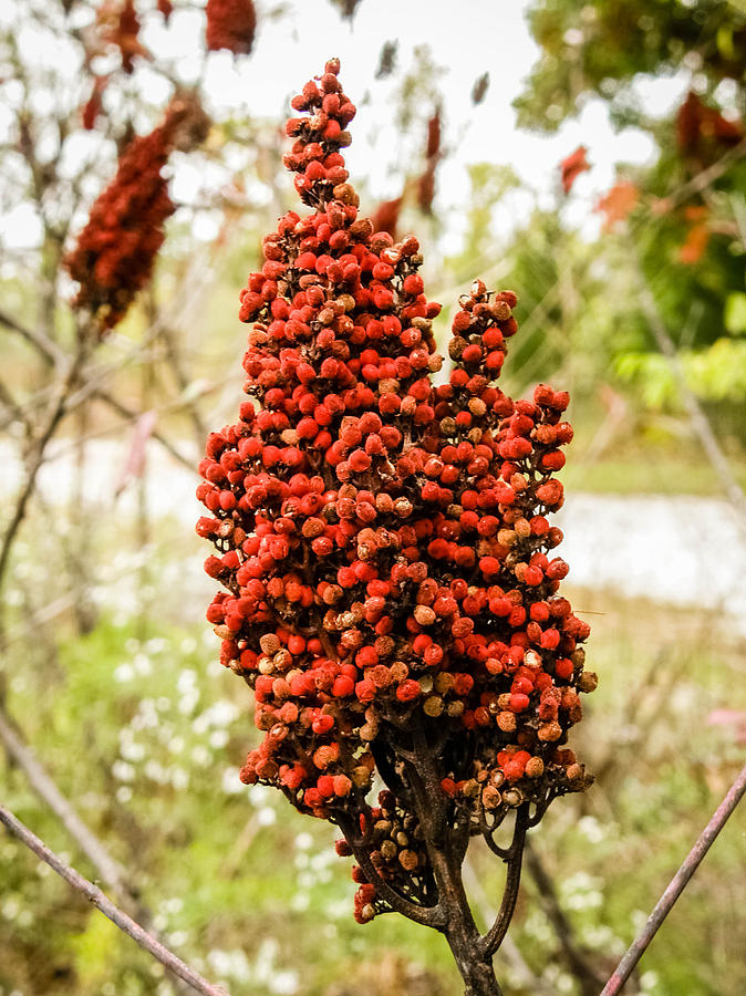 dried red berries