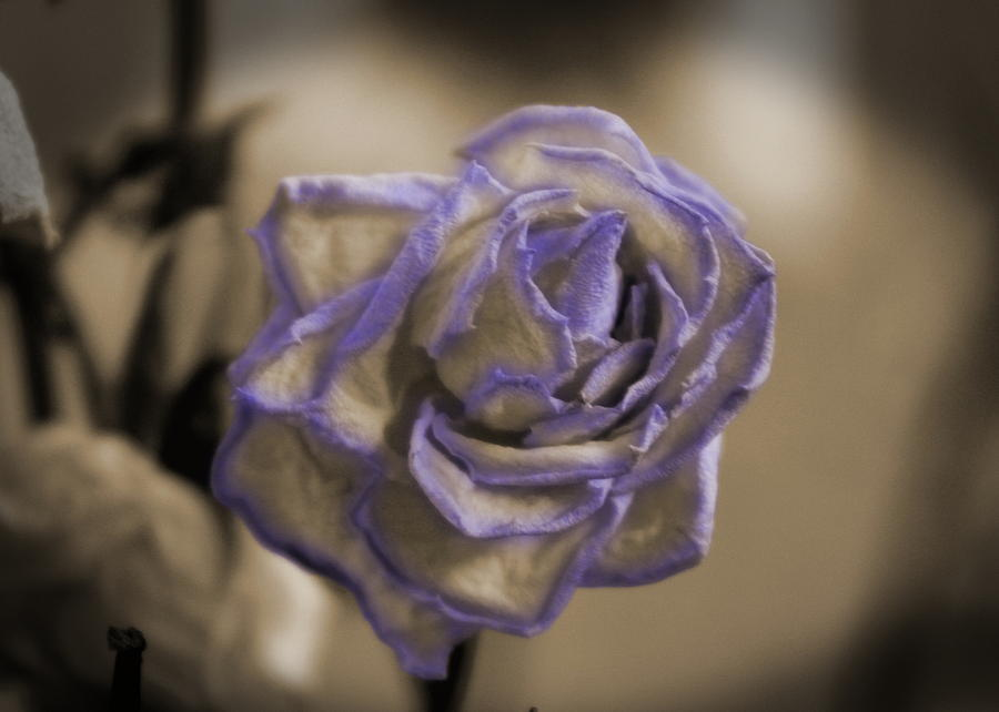 Sepia Photograph - Dried Rose In Sienna And Ultra Violet by Colleen Cornelius