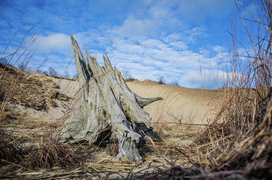 Dried Stump at Warren Dunes by Ryan Ketterer