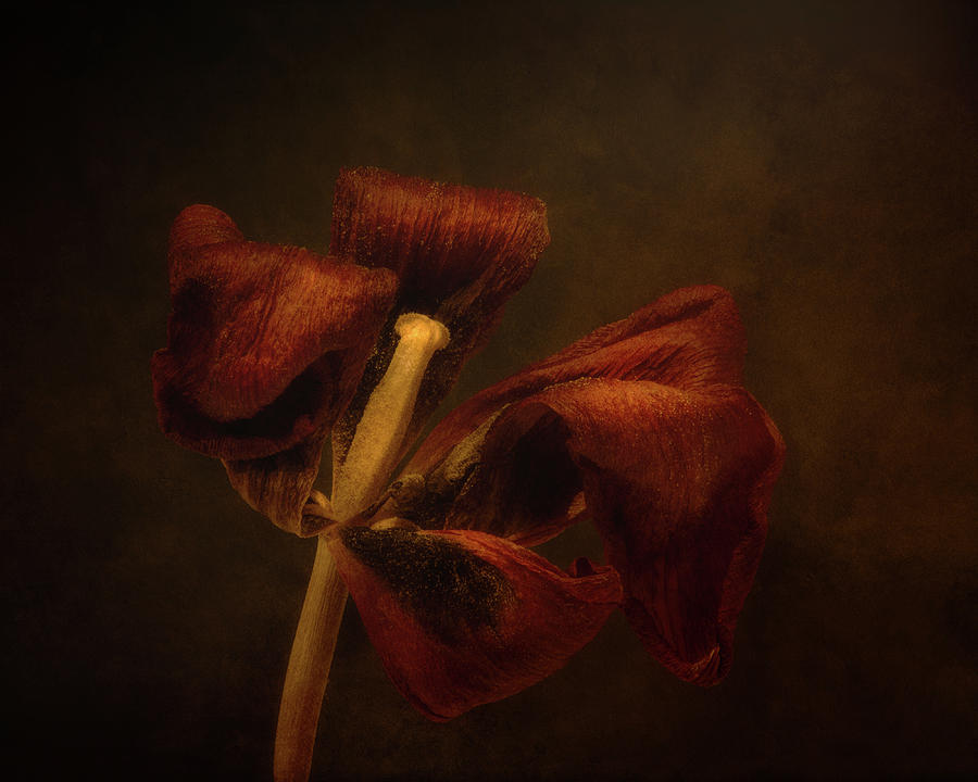 Dried Tulip Blossom 2 Photograph