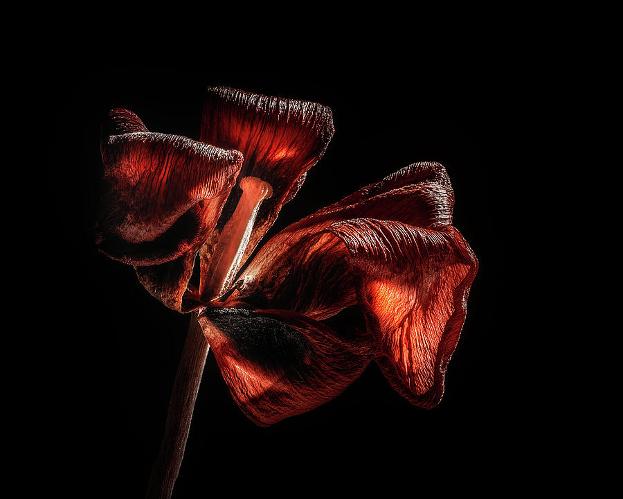 Dried Tulip Blossom Photograph