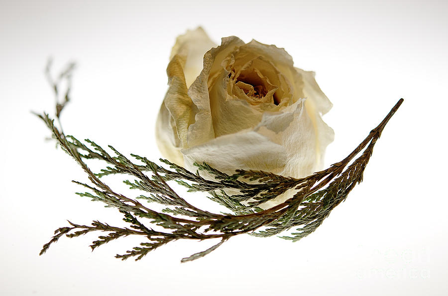 Dried White Rose Photograph By Lois Bryan