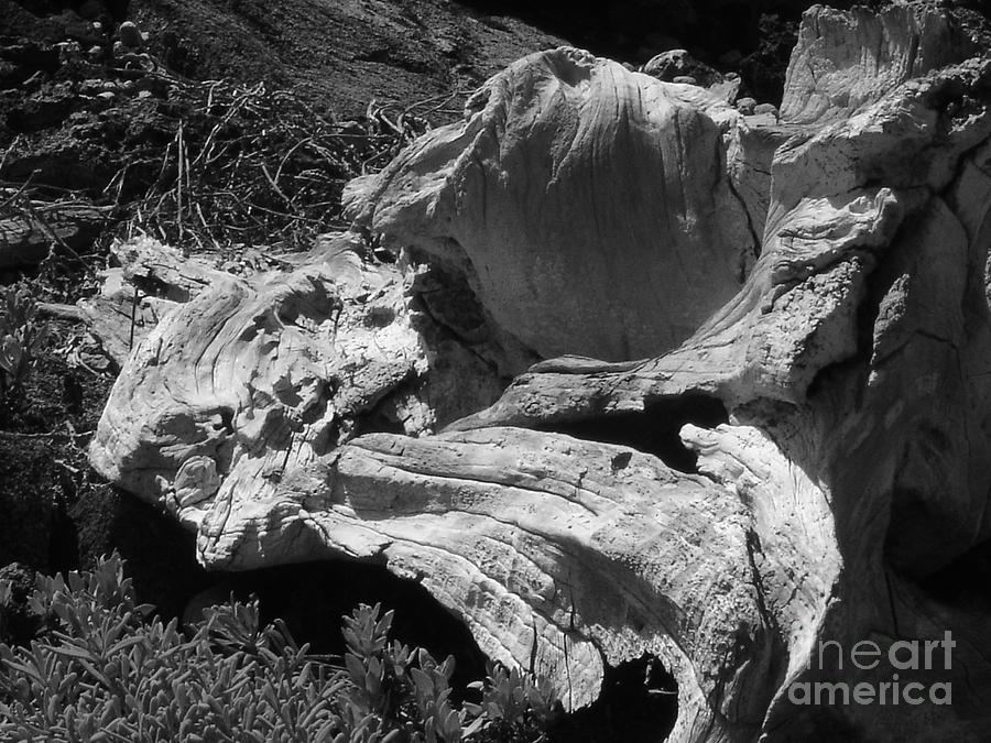 Drift Wood Photograph - Drift Wood by Chad Natti