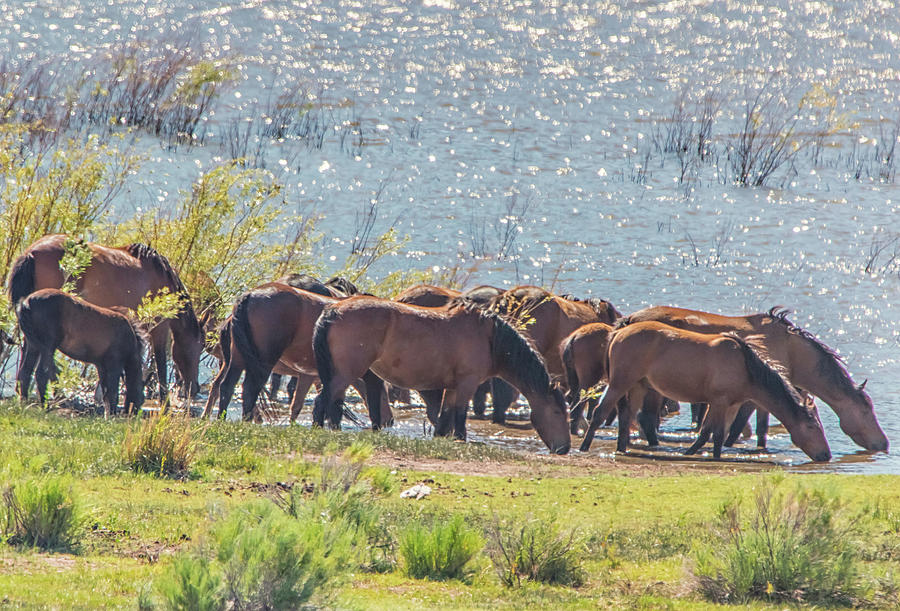 Drinking from Washoe Lake by Marc Crumpler