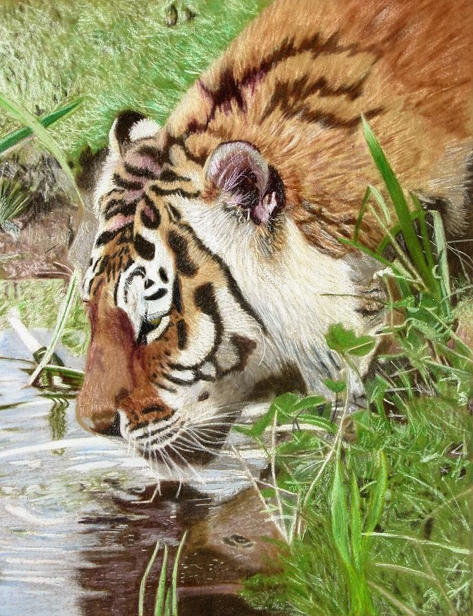 Drinking Drawing - Drinking Tiger by Lori Hanks