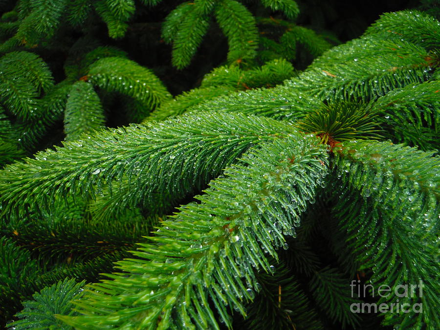 Dripping Oregon Coastal Pines by Paddy Shaffer