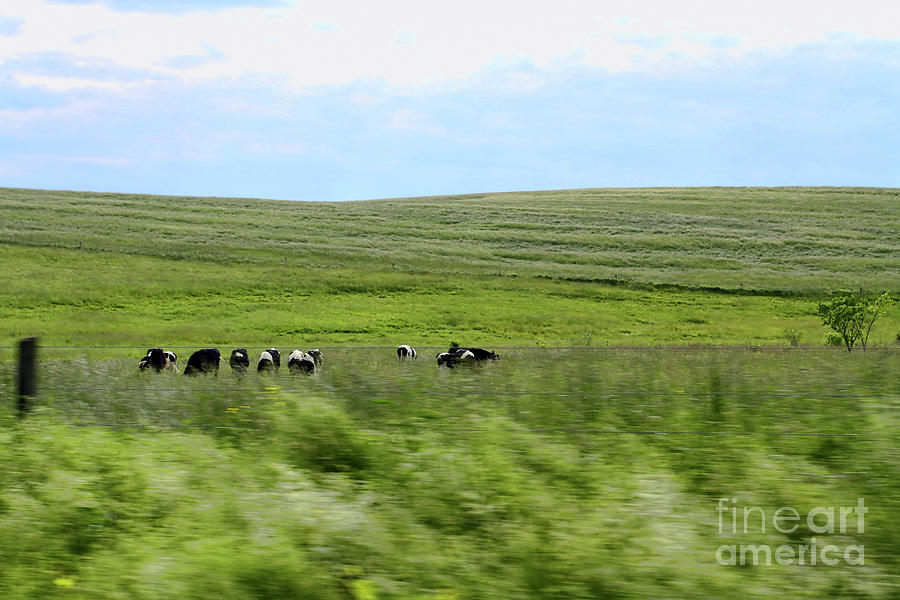 Cows Photograph - Driveby Shooting No.17 Cows by Christine Segalas