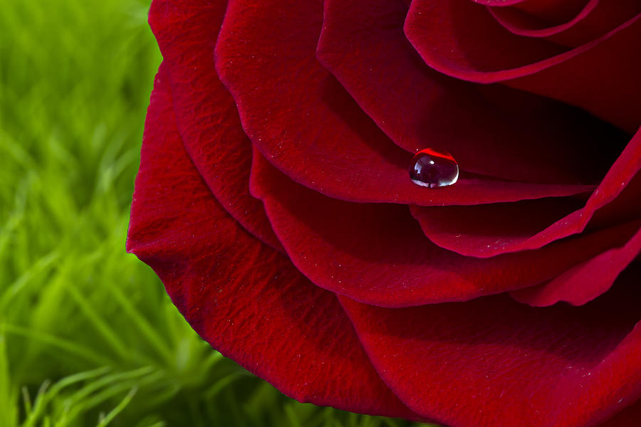 Drop on a Rose by MARLO HORNE