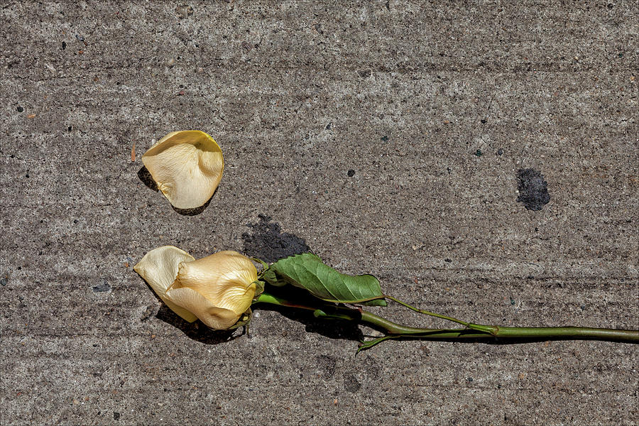 Rose Photograph - Dropped Rose by Robert Ullmann
