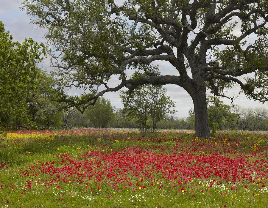 Annual Phlox Photograph - Drummonds Phlox Meadow Near Leming Texas by Tim Fitzharris