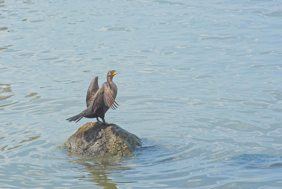 Cormorant Photograph - Drying My Wings by Robert Brown