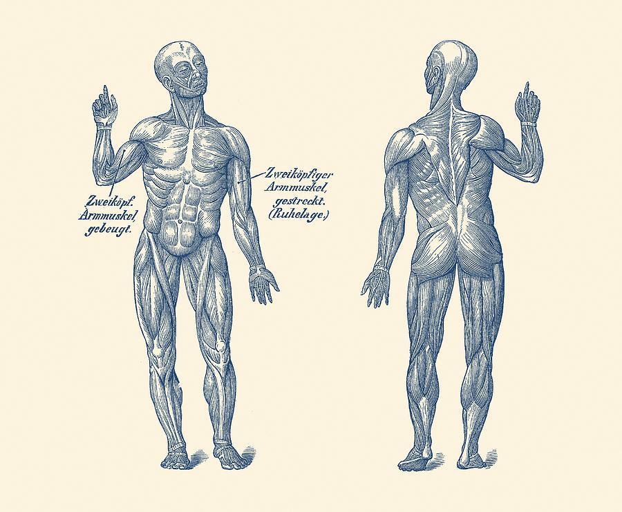 Dual View Arm Muscular System German Diagram Vintage Anatomy
