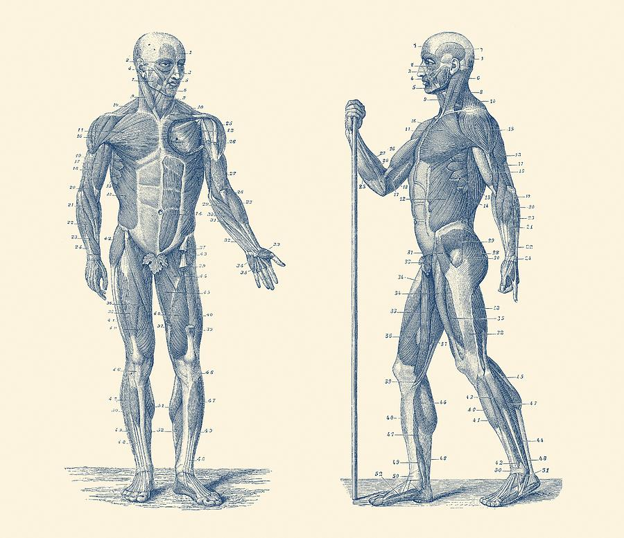 Dual View Human Muscle System Vintage Anatomy Drawing By Vintage