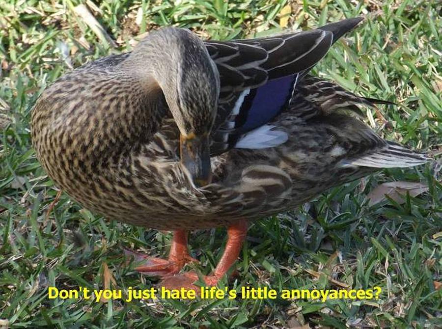 Ducks Photograph - Duck Annoyances by Rana Adamchick