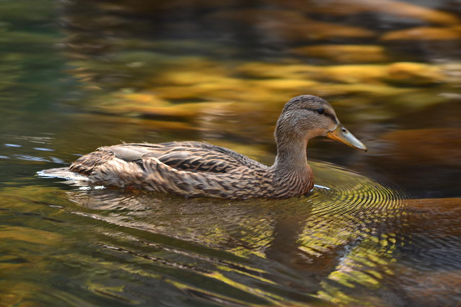 Bird Photograph - Duck by Atul Daimari