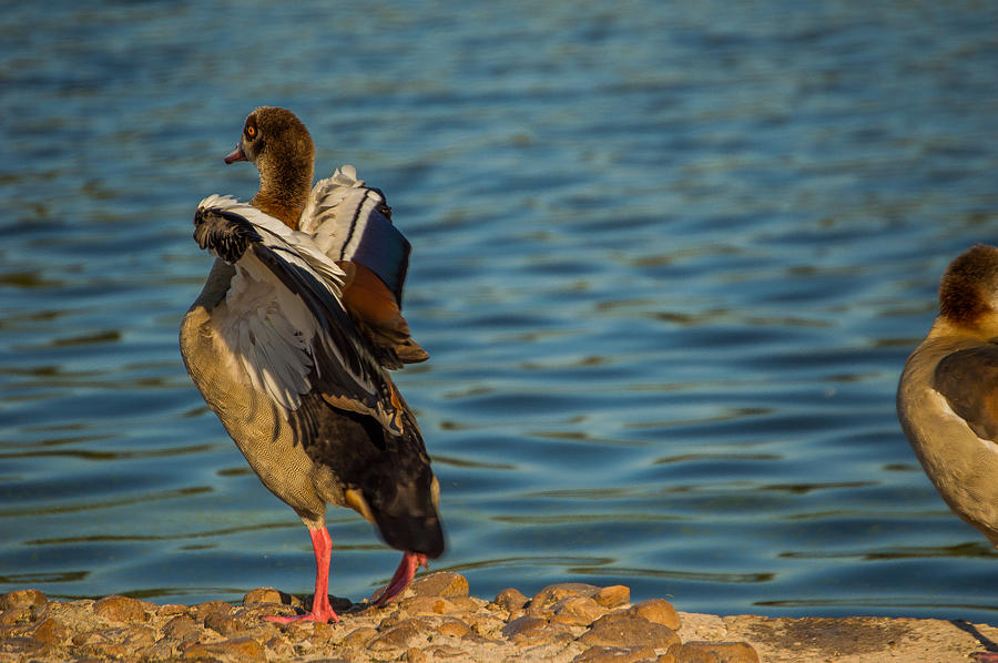 Texas Photograph - Duck Flex by Noun Images