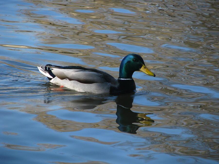 Mallard Duck Photograph - Duck Mallard Duck by Hasani Blue