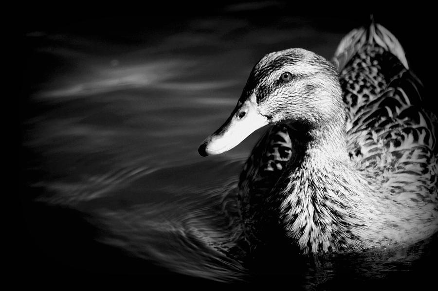 Black & White Photograph - Duck by Matthew Nelson