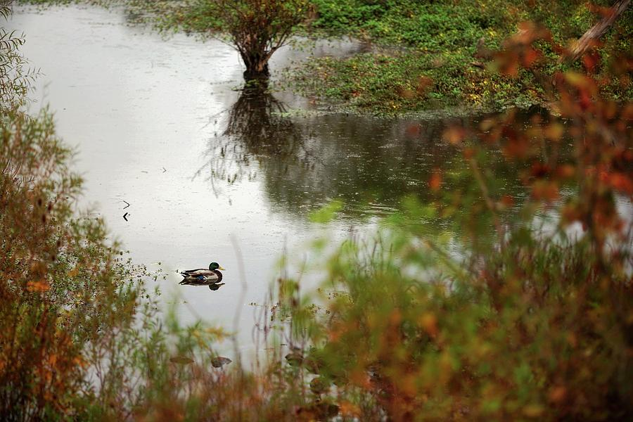 Duck On A Pond Photograph by Scott Fracasso