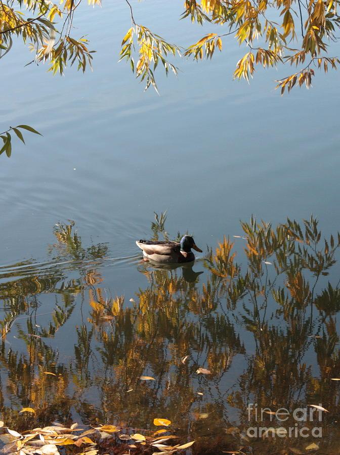 Autumn Photograph - Duck On Golden Pond by Carol Groenen
