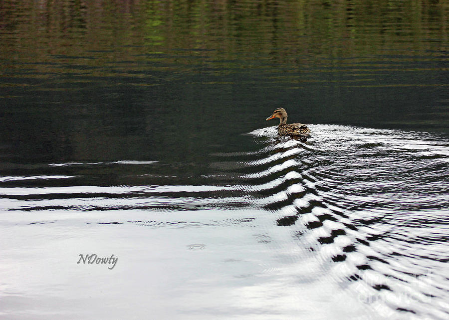 Duck on Ripple Wake by Natalie Dowty