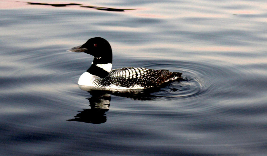 Nature Photograph - Duck On The Lake by Robert Morin