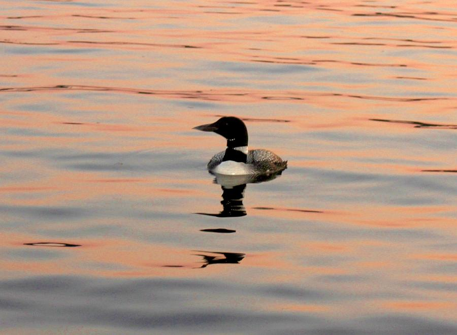 Nature Photograph - Duck On The Water by Robert Morin