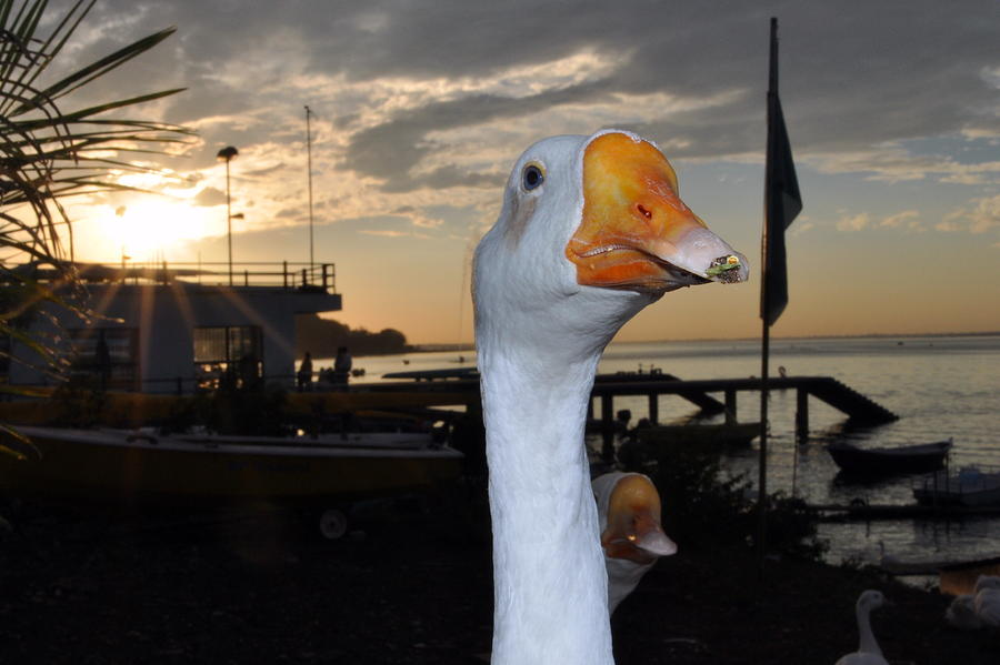 Duck Photograph by Rakesh Sharma