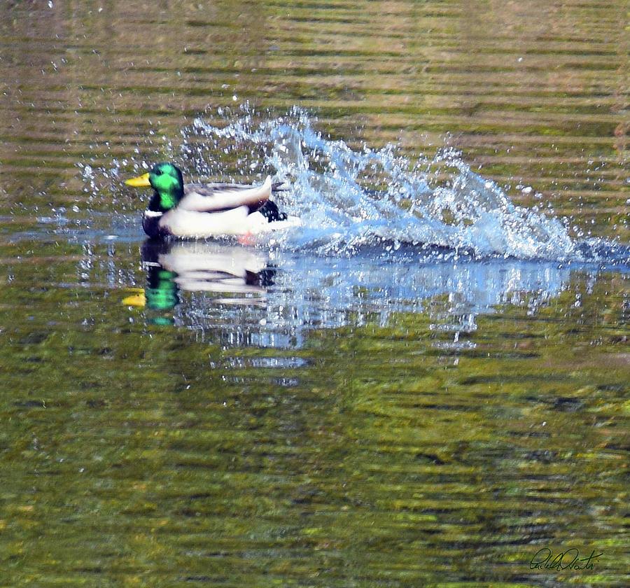 Duck Splash Landing Photograph