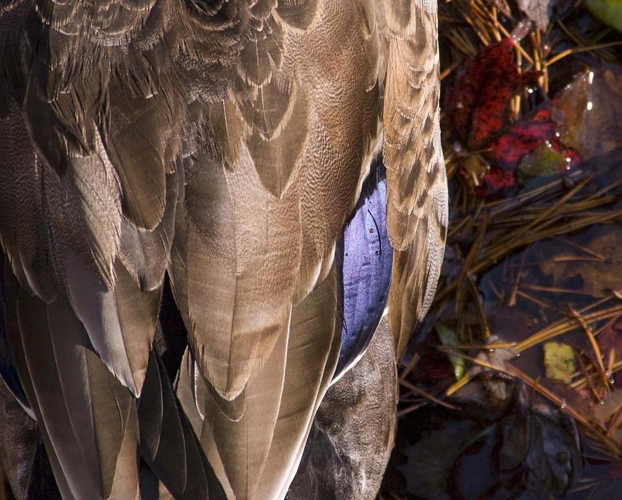 Birds Photograph - Duck by Steve Kenney