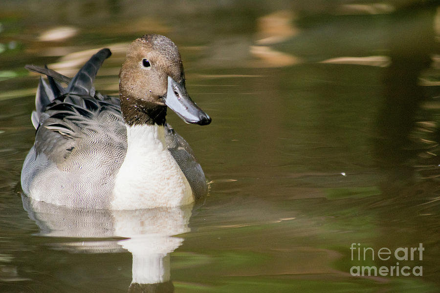 Duck Photograph - Duck Swimming, Front Portrait. by Cesar Padilla