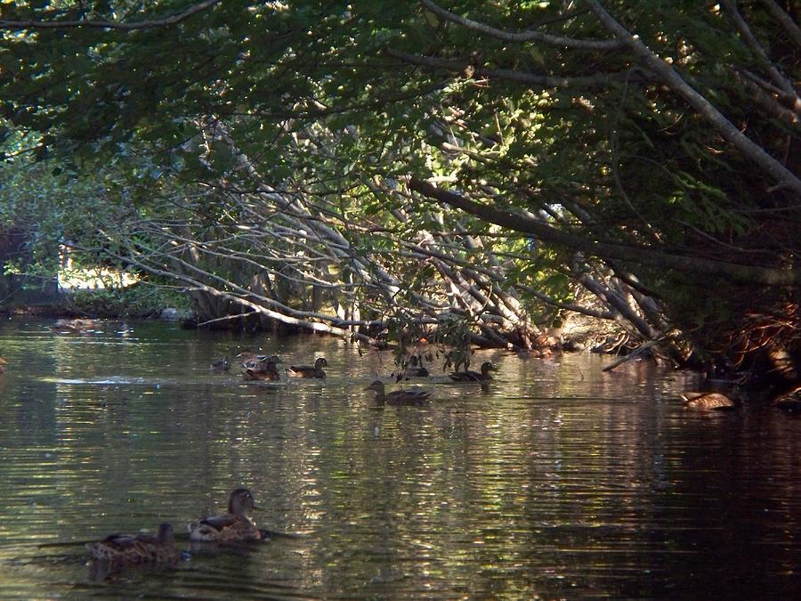 Ducks Photograph - Duck World IIi by Rosanne Bartlett
