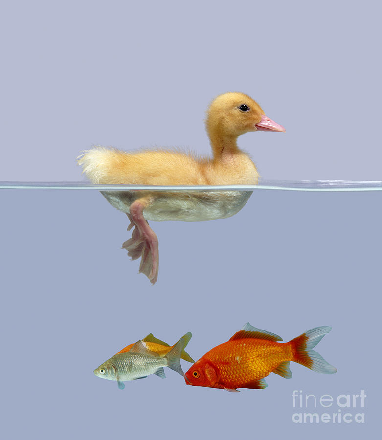Animal Photograph - Duckling And Goldfish by Jane Burton