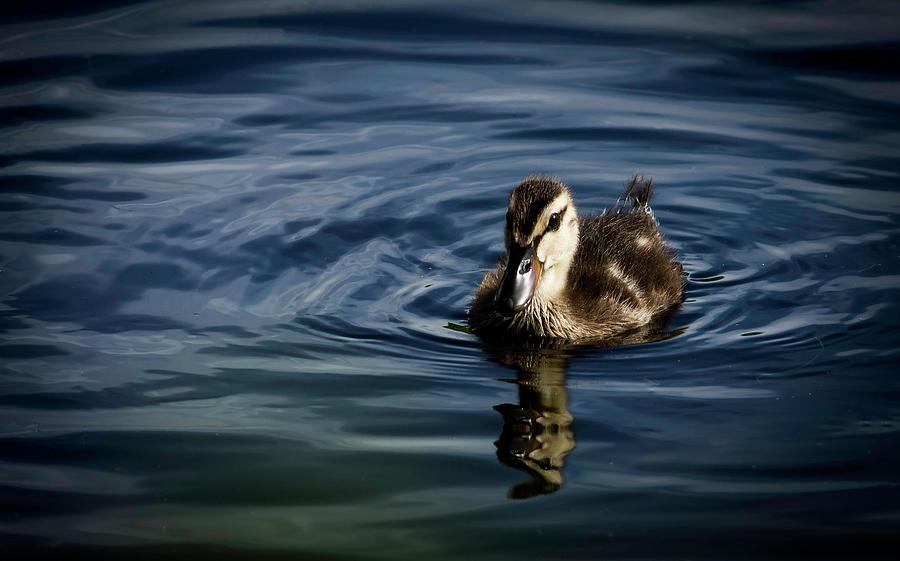 Duckling by GK Hebert Photography