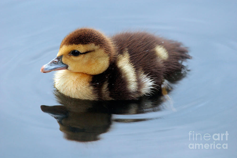 Baby Photograph - Duckling by Jeannie Burleson