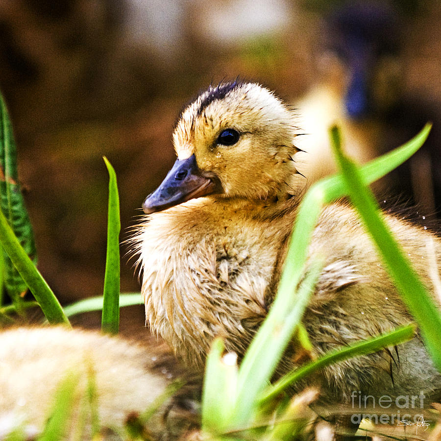 Duck Photograph - Duckling by Scott Pellegrin