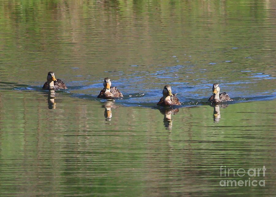 Ducks In A Row Photograph