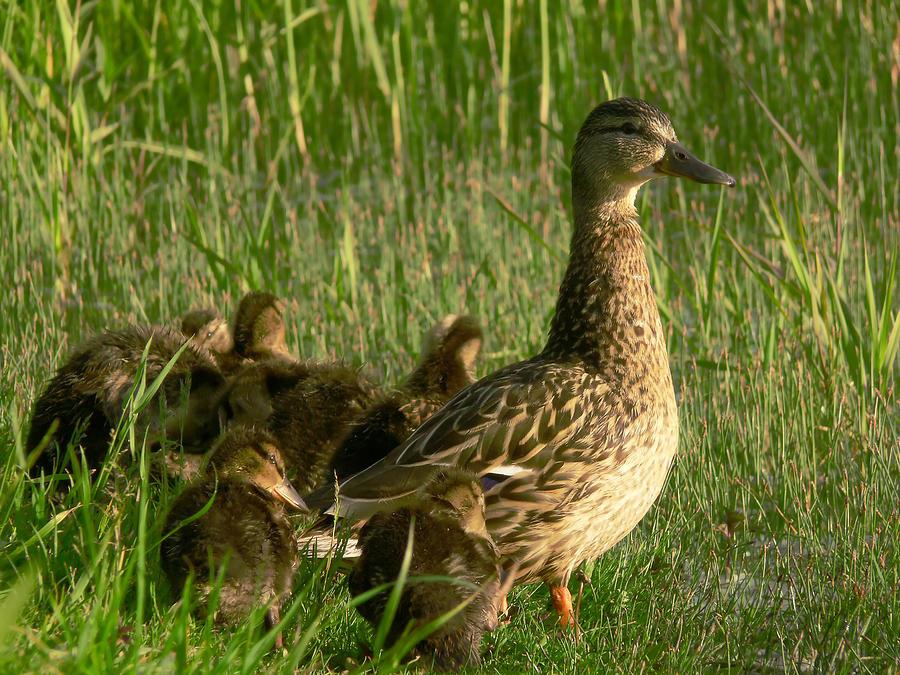 Baby Photograph - Ducks by Jaroslaw Grudzinski