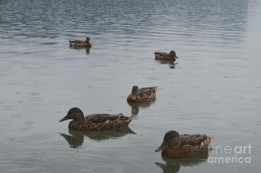 Lake Bled Photograph - Ducks On Lake Bled by Photos  By Zulma