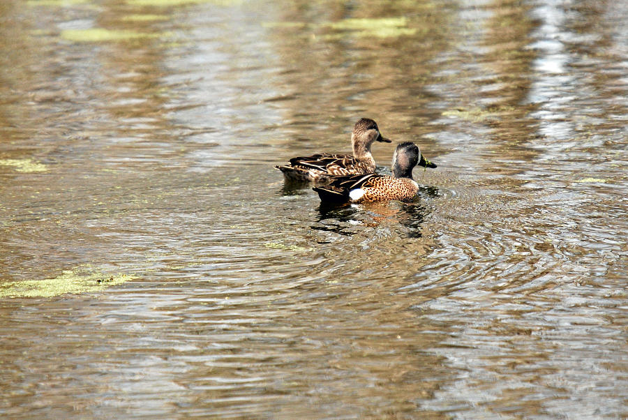 Duck Photograph - Ducks Together by Teresa Blanton
