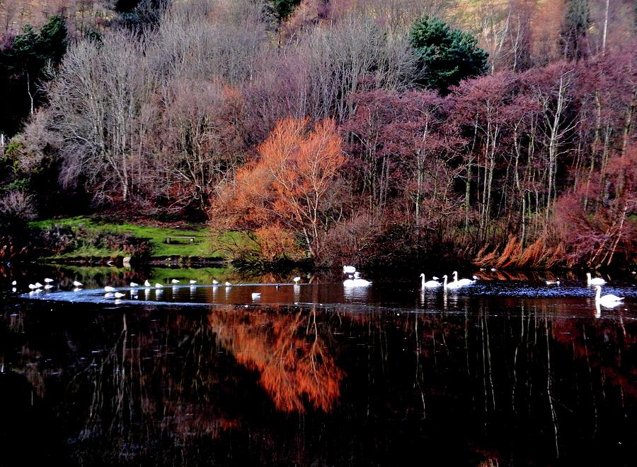 Nikon Photograph - Duddingston Swan 17 by Nik Watt