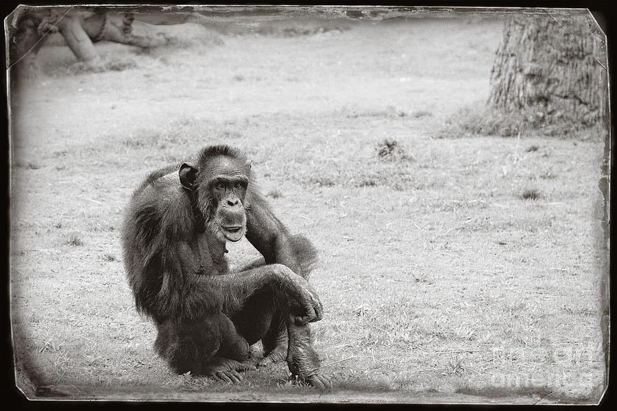 Chimpanzee Photograph - Dude by Sandy Adams
