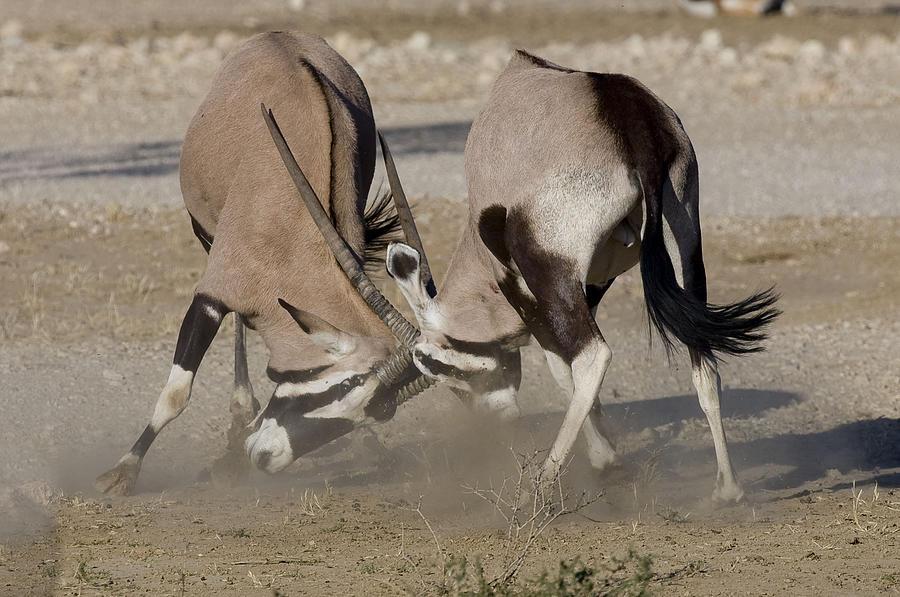 Duel Of The Gemsbok Photograph by Irvine Eidelman